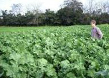 Flexible grazing options for forage rape