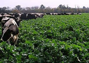 Crops to alter milk composition