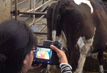 Future options for detecting heat in dairy cows
