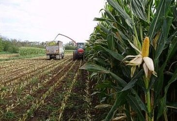 More is not always better for Maize