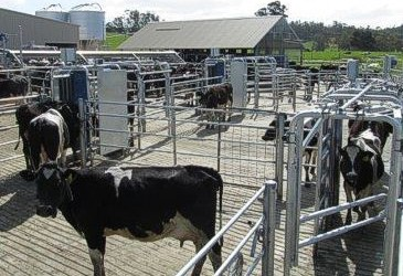 Cow movement options for Robotic milking
