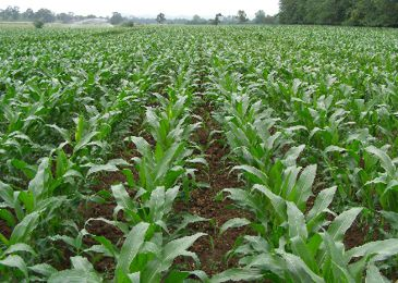 Make the most of maize silage